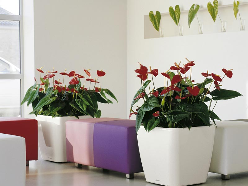Anthurium Indoor Plant